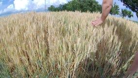 dof pola pszenicy pionowe złota płytka zbiory wideo
