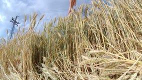 dof pola pszenicy pionowe złota płytka zbiory