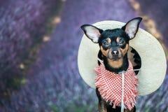 Dof un agricoltore, un americano, un cowboy Ritratto di un cane in una cicatrice Fotografia Stock Libera da Diritti