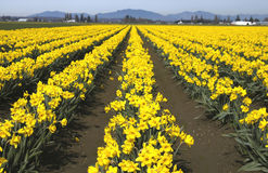 Doffodillinear. Daffodil farm in skagit county Royalty Free Stock Photo
