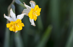 Doffodils Royalty Free Stock Photo