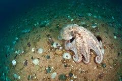 Dofleini gigante do polvo que anda no assoalho de mar Fotos de Stock