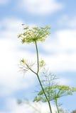 dofta nytt för fennel Royaltyfri Fotografi