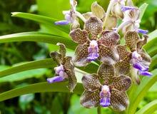 dofta orchid arkivbilder