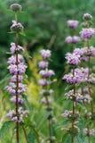 Doftande höga blommor för genomdränkt sommar royaltyfria bilder
