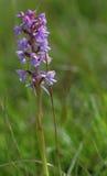 Doftande orkidé för krita fotografering för bildbyråer