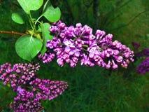 Doftande purpurfärgade lilablom Royaltyfri Foto