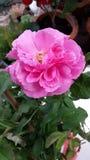 Doftande rosa färgros Royaltyfri Fotografi