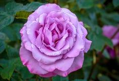 Doftande rosa oavkortad blomning Arkivbild
