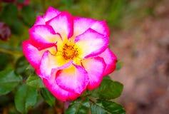 Doftande rosa oavkortad blomning Arkivbilder