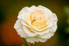 Doftande rosa oavkortad blomning Royaltyfri Bild