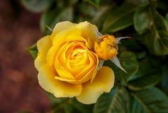Doftande rosa oavkortad blomning Fotografering för Bildbyråer