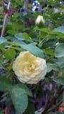 Doftande rosor i trädgård Arkivfoton