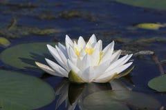Doftande vatten Lily Blooming på en sjö royaltyfria foton