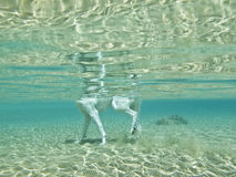 Dog's legs underwater,. A white dog's legs underwater royalty free stock photography