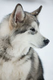 Dog husky looks off to the side Stock Images
