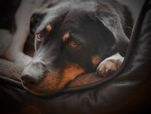 Dog& x27 κεφάλι του s Στοκ Φωτογραφία