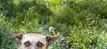 Dog spying on photograph royalty free stock photo