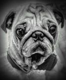 Dog& x27; 在黑白图片的s画象 免版税库存照片