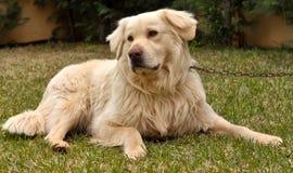 Dog_004 Royalty Free Stock Photo