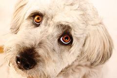 Dog #1. Fluffy white dog looking straight into the lens.  Shallow D.O.F. - eyes in focus, nose out of focus Royalty Free Stock Images