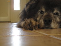 Dog. A black dog laying on the floor Stock Image