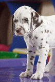 Dog. Dalmatian dog Stock Photos
