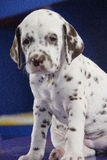 Dog. Dalmation Stock Photo