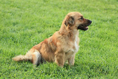 Dog. On a green grass in the summer sunny day Stock Images