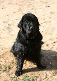 Dog. Newfoundland it is black colors on sand Royalty Free Stock Photo