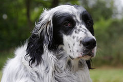 Dog 11. An English setter with an attitude that looks to you Stock Photos