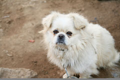 Dog. A white dog with pathetic expression in its eyes Royalty Free Stock Images