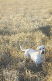 Dog. A dog in the  grassland Royalty Free Stock Image