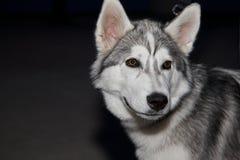 Dog. Beautiful dog looking at the camera Royalty Free Stock Photography