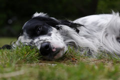 Dog 12. A very lazy English setter lying in the garden Royalty Free Stock Image