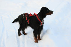 Dog. Playing in the snow stock photography