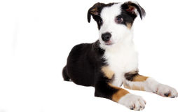 Dog. A border collie puppy on  white background Stock Photo