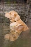 Dog. Golden retriever, having a relaxing bath in water Stock Photos