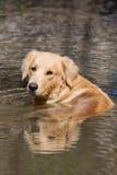 Dog. Golden retriever, having a relaxing bath in water Stock Photo