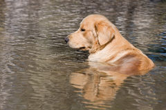 Dog. Golden retriever, having a relaxing bath in water Royalty Free Stock Image