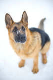 Dog. Soiled his nose in the snow. Cold winter Stock Image