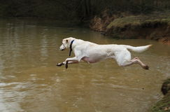 Dog. Jumping to the water Stock Photos