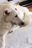 Dog. A white dog Lying on a mat Stock Image