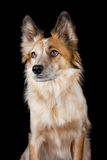 Dog. A pet dog with large ears posing for a portrait Stock Photography