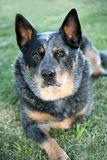 Dog. Australian cattle dog sitting on grass looking at camera Stock Photos