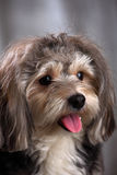 Dog. A cute dog of the breed Bishon Havanais Stock Photo