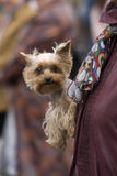 Dog. Nursling on hand by mistress Royalty Free Stock Photography