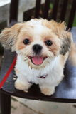 Dog. Tuktik a small dog background on chair stock photos