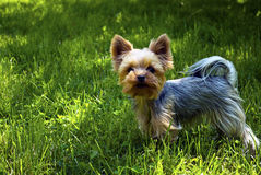 Dog. York dog on grass in nature Royalty Free Stock Image
