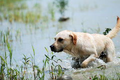 Dog. The dog is running in the river Stock Photos